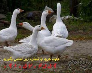 فروش ویژه تخم نطفه دار غازمحلی