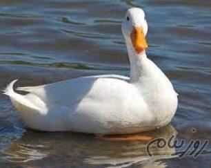 فروش بی نظیرتخم نطفه دار اردک