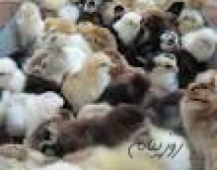 فروش جوجه مرغ بومی اصلاح نژاد شده شرکت زرین توتک