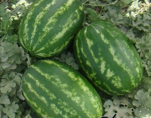 فروش بذر هندوانه خطی سامانتا
